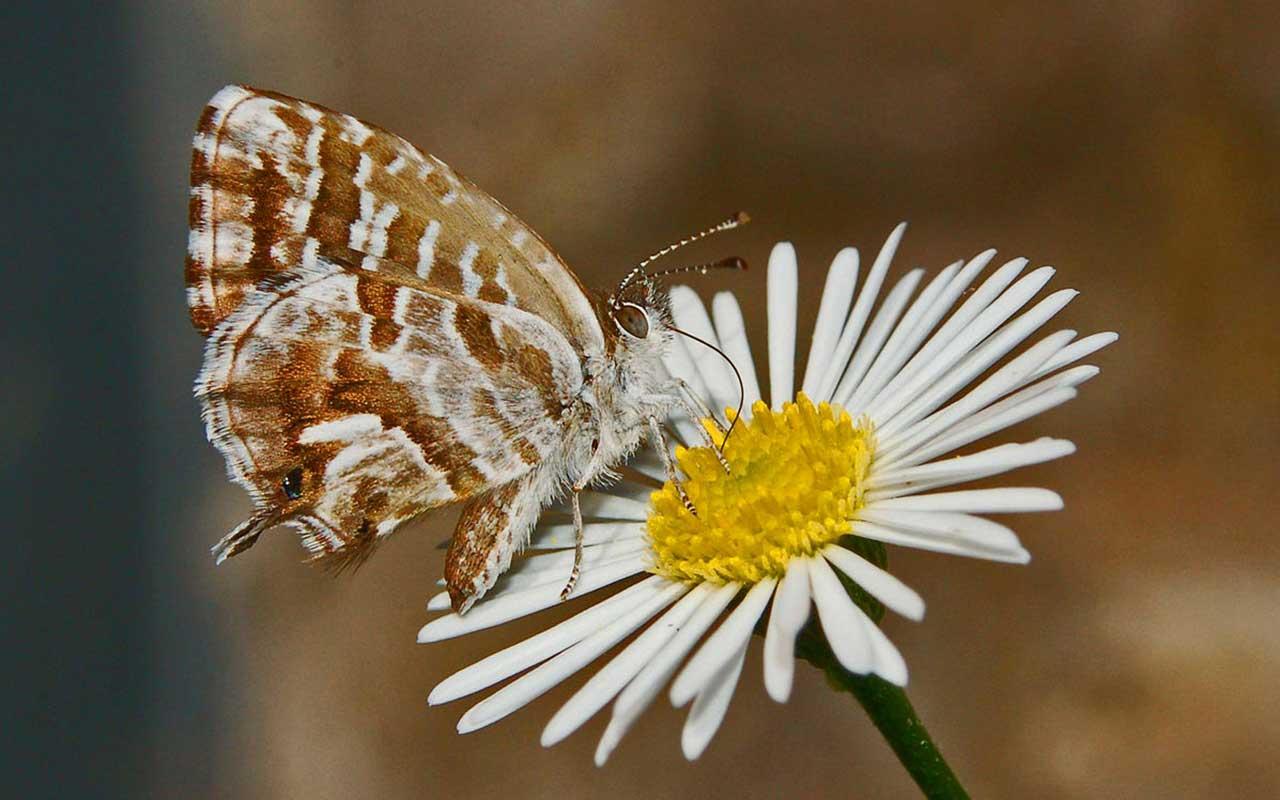 Lycaenidae Cacyreus marshalli