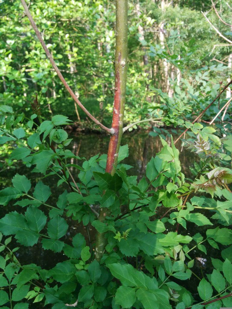 nécrose orange témoignant de l'infection de l'arbre