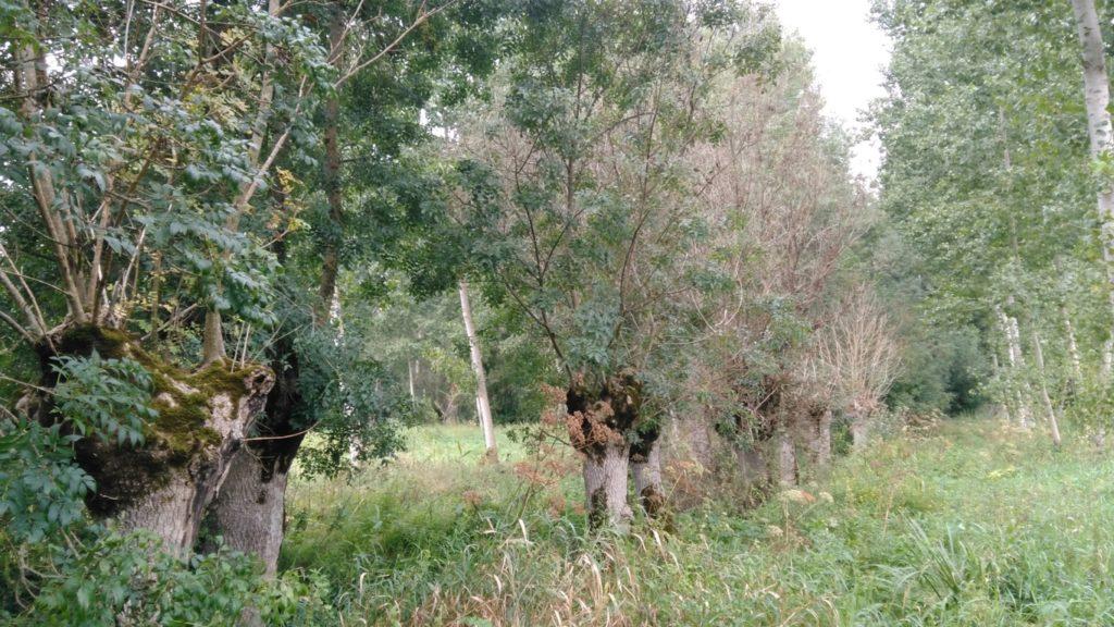 Frênes têtards atteints par la Chalarose